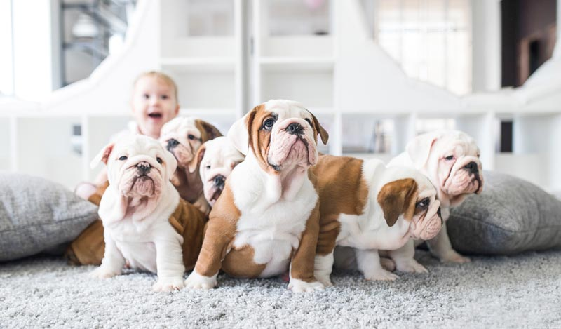 young child with a whole bunch of puppies